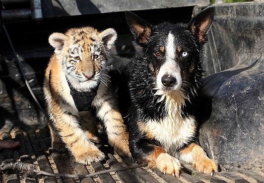 tiger7_1508441a